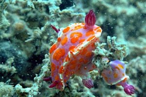 Triple clown nudibranch