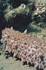Sea cucumber has a fine texture