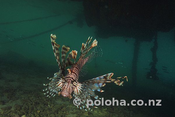 Lionfish in murky water under resort wharf