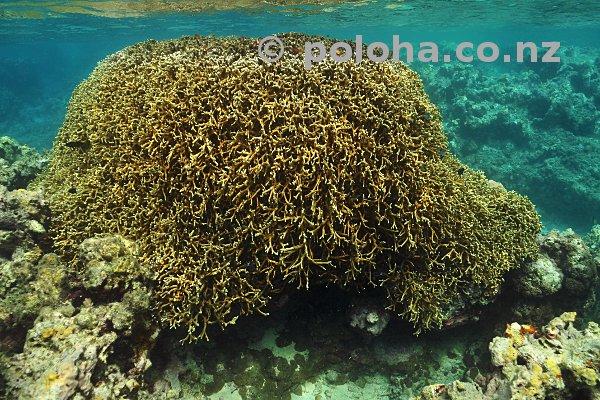 Coral block in shallow water around Vava'u islands, Pacific ocean