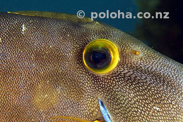 Close-up of leatherjacket Parika scaber
