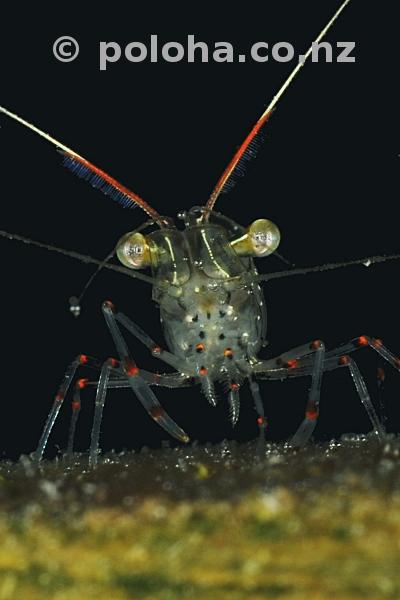 Translucent shrimp warrior from Ti Point Wharf