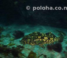 Eastern Kelpfish Chironemus marmoratus