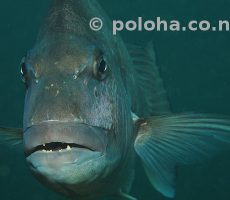 Face to face with australasian snapper Pagrus auratus