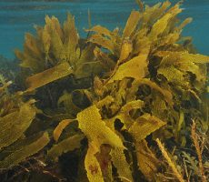 Shallow water kelp forest
