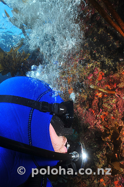 Diver observing colourful rocky wall under kelp forest canopy