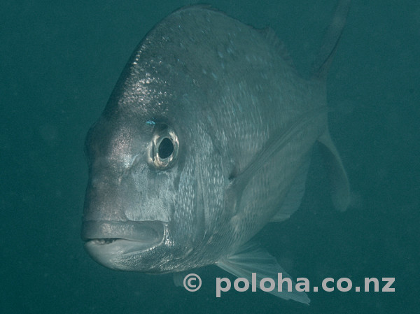 Australasian snapper coming out of gloom