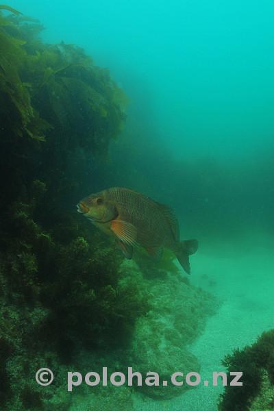 Red moki in gloom of kelp forest