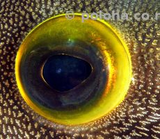 Eye detail of young leatherjacket