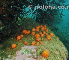 Stock Photo: Crop of orange golfball sponges (Tethya ...)
