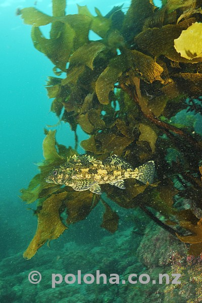 Stock Photo: Eastern Kelpfish Chironemus marmoratus cruising by