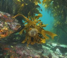 Stock Photo: Common urchin (Evechinus chloroticus, kina) grazing on kelp