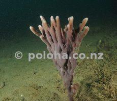Stock Photo: Lonely purple finger sponge on silty bottom