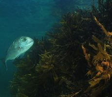 Stock Photo: Australasian snapper (Pagrus auratus) in shallow water kelp forest