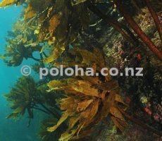 Stock Photo: Kelp forest of Ecklonia radiata on steep rocky reef