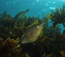 Stock Photo: Leatherjackets Parika scaber over kelp