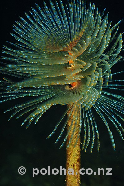 Stock Photo: Mediterranean fanworm Sabella spallanzanii