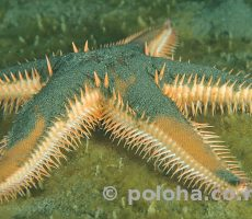 Stock Photo: Comb sea star Astropecten polyacanthus