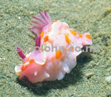 Clown doris (nudibranch) Ceratosoma amoena