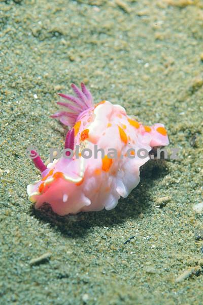 Clown doris (nudibranch) Ceratosoma amoena