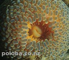 Wandering anemone Phlyctenactis tuberculosa