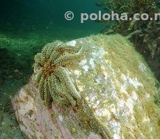 Stock Photo: Prickly eleven-armed sea star (Coscinasterias calamaria) on rock