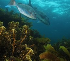 Stock Photo: Couple of snapper Pagrus auratus over kelp forest