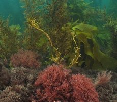 Stock Photo: Colourful algae of temperate southern Pacific ocean