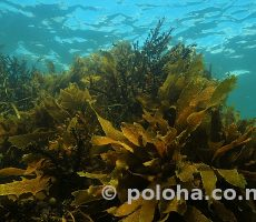 Stock Photo: Sea weeds (kelp) reaching to surface