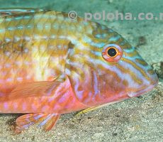 Stock Photo: Colourful Goat Fish Upeneichthys porosus