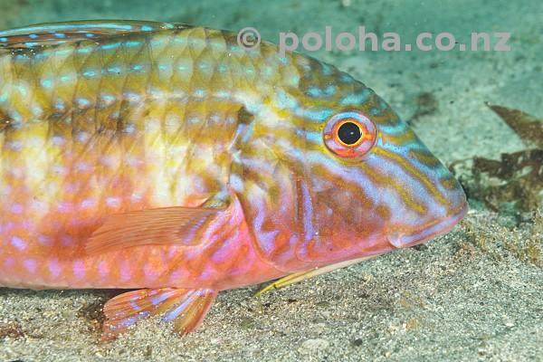 Stock Photo: Colourful Goat Fish Upeneichthys porosus