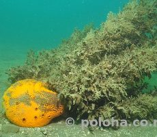 Stock Photo: Yellow boring sponge Cliona celata