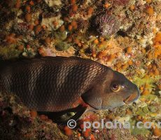 Stock Photo: Red moki Cheilodactylus spectabilis sleeping in shade of rock