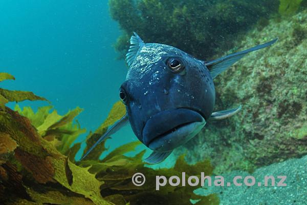 Stock Photo: Blue cod Parapercis colias face