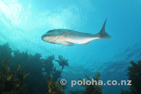 Stock Photo: Snapper Pagrus auratus gliding above kelp forest