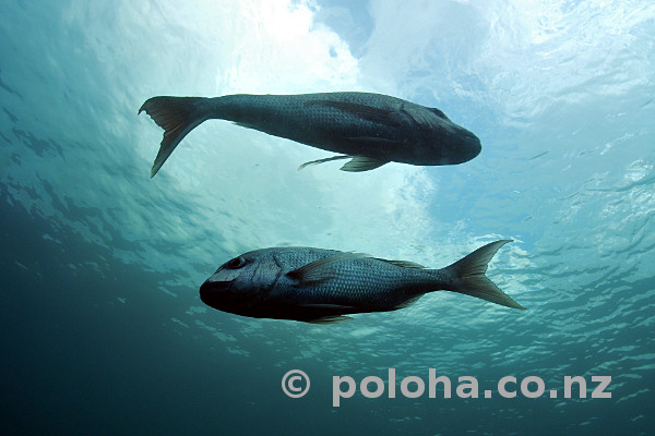 Stock Photo: Couple of snapper Pagrus auratus
