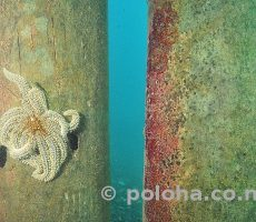Stock Photo: Eleven-armed sea star on wharf pillar