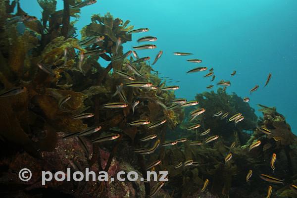 Stock Photo: School of tiny fish among kelp
