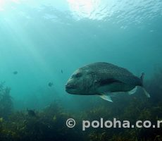 Stock Photo: Large snapper above kelp covered flat bottom
