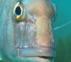 Stock Photo: Portrait of snapper