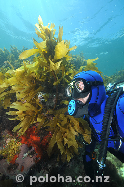 Stock Photo: Scuba diver in shallow water kelp forest of southern Pacific ocean