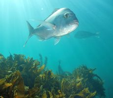 Stock Photo: Australasian snapper Pagrus auratus in sun rays