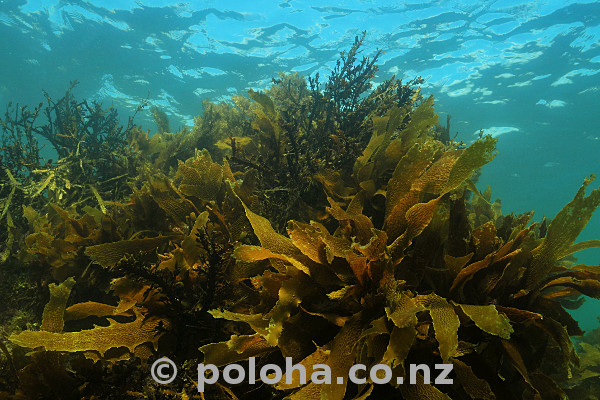 Brown kelp in shallow water