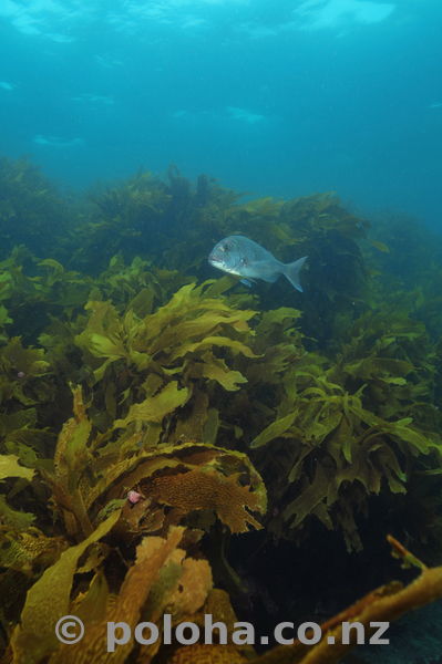Snapper and kelp forest
