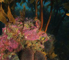 urchins_under_kelp.jpg_600