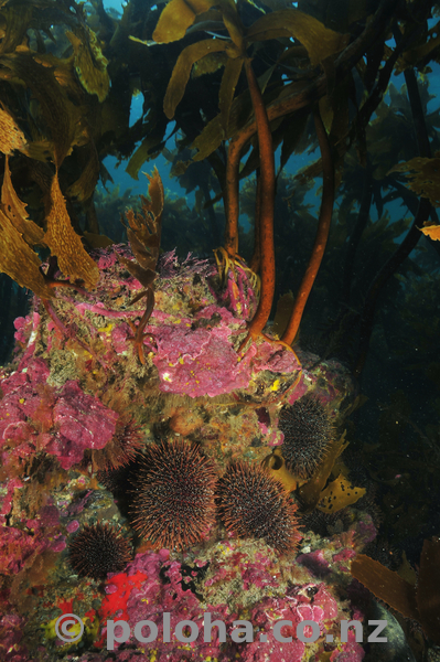 urchins_under_kelp.jpg_600