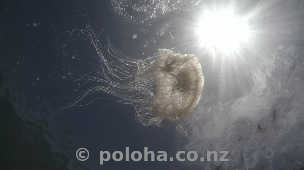 Jellyfish underwater with sea surface and sun in background