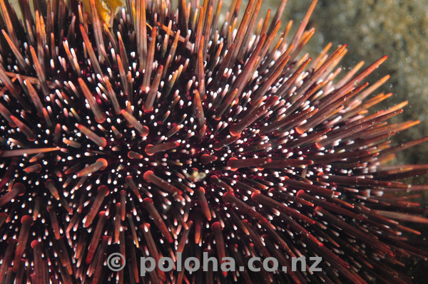 common_sea_urchin_close.jpg_600