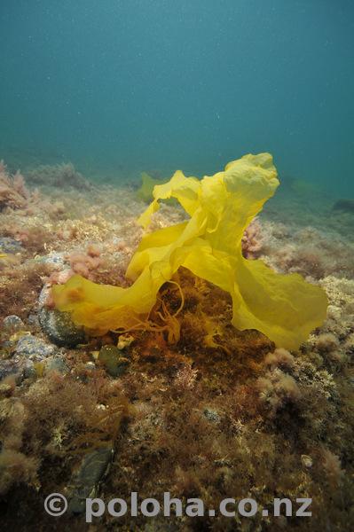 translucent_kelp.jpg_600