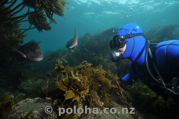 Diver and fish among kelp